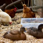 Caution Needed with Backyard Poultry