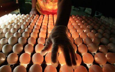 Egg Farm in Salmonella Outbreak Identified